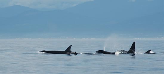 Famiglia Orca