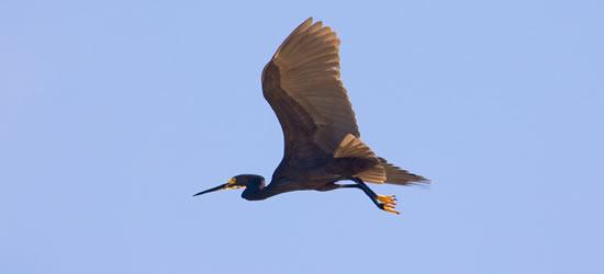Piccolo Egret