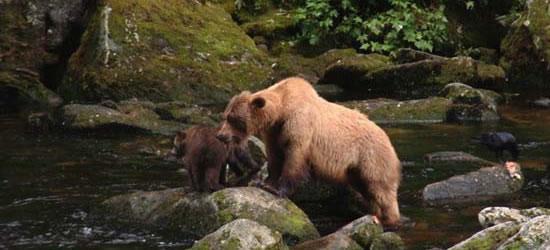 Grizzly & Cubs, Annan Creek