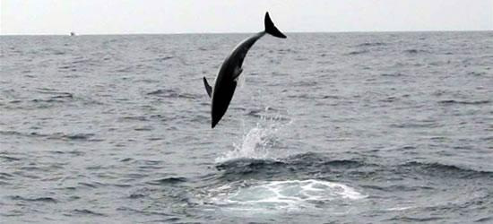 Alti Delfini Volanti
