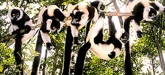 Una Famiglia di Lemurs