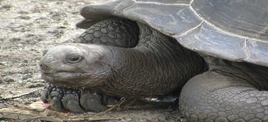 Tortoise gigante