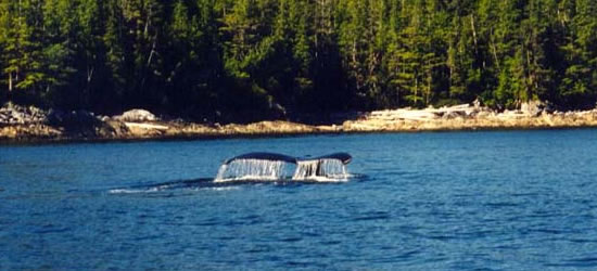 Ballacco di balena della collina Columbia Britannica