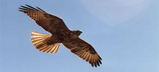 Uccello di preda