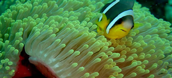 Pesce Anemone