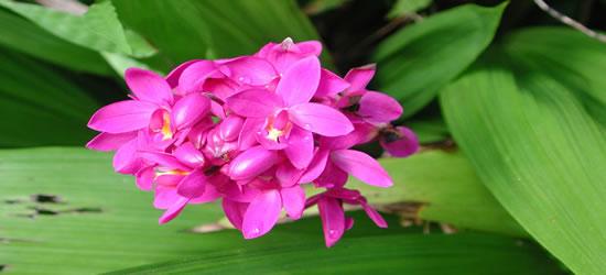 Orchidea Tahitiana