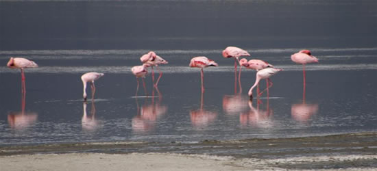 Fenicotteri rosa, Zanzibar