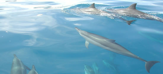 Delfini di Tahiti