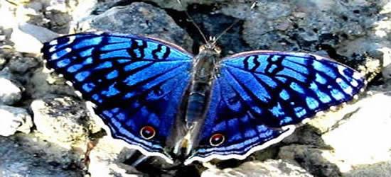 La farfalla di Junonia, isole di Radama