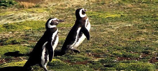 Pinguini di Patagonia