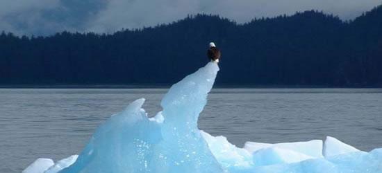 Bald Eagle SE Alaska