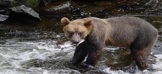 Creeks spessi di salmone