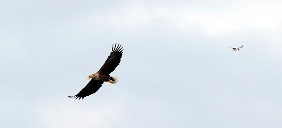 Bird of Prey, Finlandia
