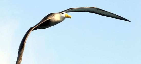 Ondulato Albatross, Galapagos