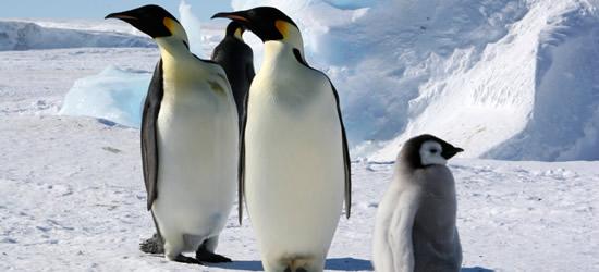 Pinguini imperatore, Mare di Weddell