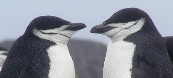 Pinguini faccia a faccia