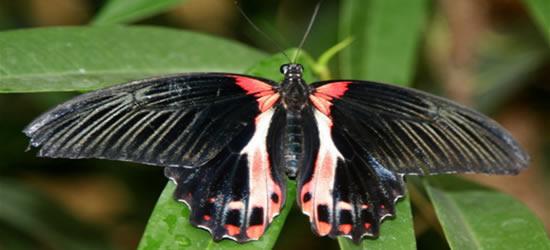 Farfalle di Auckland
