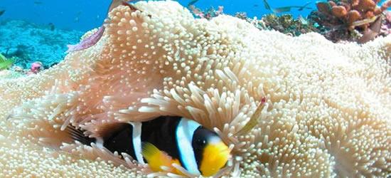 Anemone Pesce, Seychelles