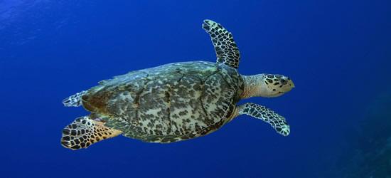 Tartaruga embricata, St Lucia