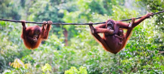 Adorible Orangutan