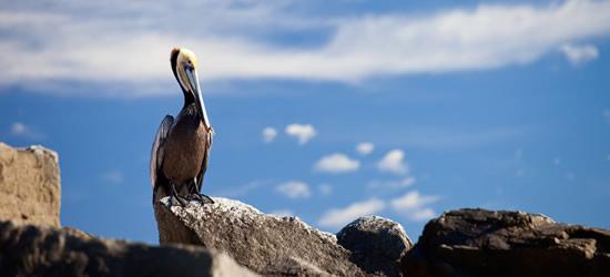 Brown Pelican, Baja Mexico
