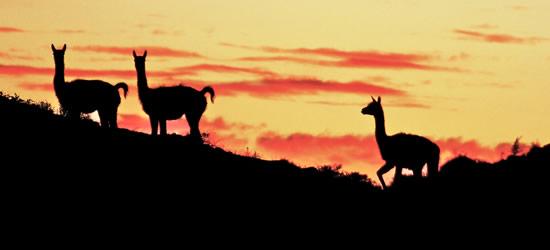 Guanacos al tramonto, Patagonia