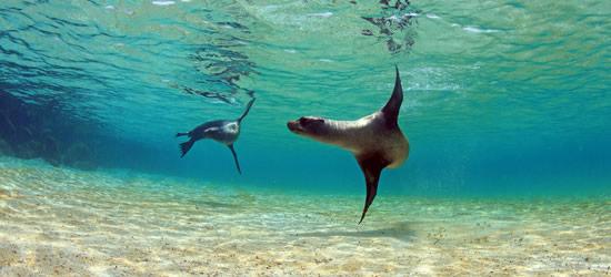 Leoni marini del Galapagos