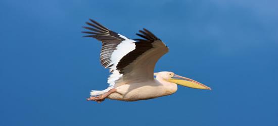 Il Grande Pelican Bianco
