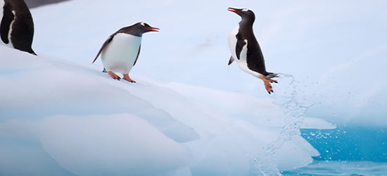 Flying Gentoo Penguin